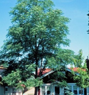 Street Tree Maintenance -Photo of tall tree on personal property