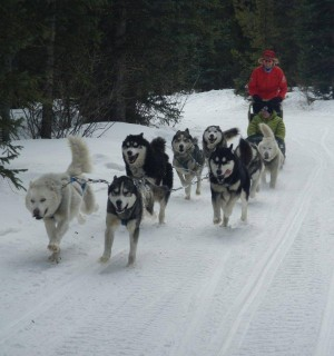 dog sled team running with person on sled