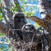 two owls sitting in a nest in a tree