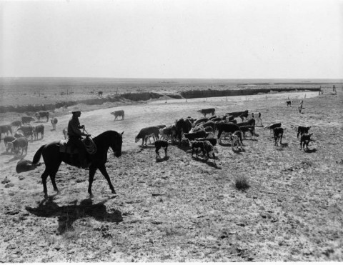 rancher on a horse among a herd of cows grazing.