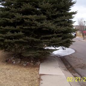 Spruce tree planted too close to sidewalk
