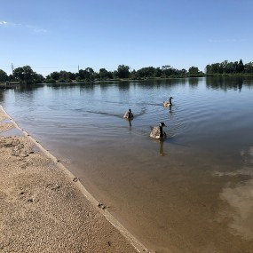 three geese swimming in the lake