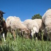 Group of sheep from the Rock Ledge Ranch
