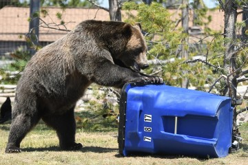 bear with trash can