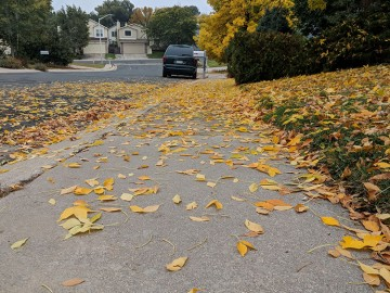 yellow leaves on a yard, sidewalk and street.