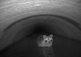 racoon in flooded storm drain