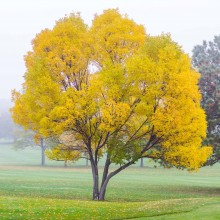 a tree with gold, autumn leaves